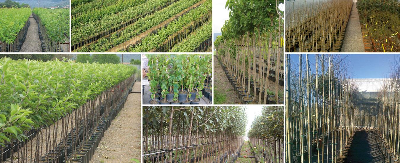 Παραγωγή καρποφόρων δέντρων